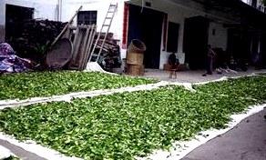 Производители зеленого чая (страны) - Чаепедия